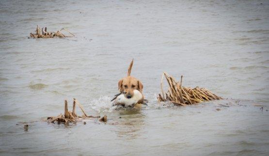 golden Labrador Retriever dog swimming through the marsh