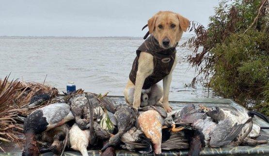 golden labrador retriever duck hunting in Saint Bernard